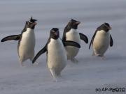 Rock hoppers penguins in sand storm