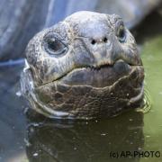 Aldabra giant tortoise, Testudo gigantea