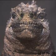 Marine iguana, Tintoreras