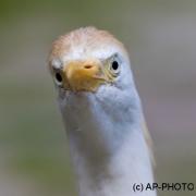 Cattle egret;Bubulcus ibis