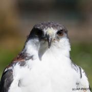 Saker falcon; Falco cherrug
