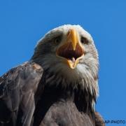 Haliaeetus leucocephalus, bald eagle