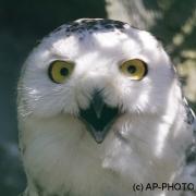 snowy owl; Bubo scandiacus