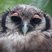 giant eagle owl