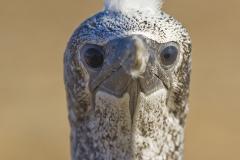 Australasian gannet, Morus serrator, Cape Kidnappers
