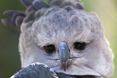 harpy eagle; Harpyie; Harpia harpyja