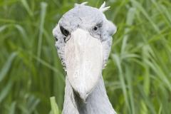 Shoebill, Balaeniceps rex