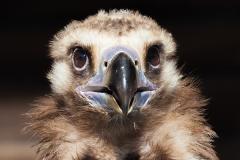 cinereous vulture; Aegypius monachus