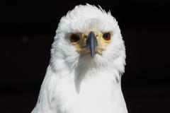 African fish eagle; Haliaeetus vocifer