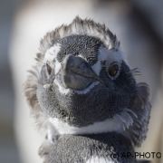 Magellanic penguin; Spheniscus magellanicus