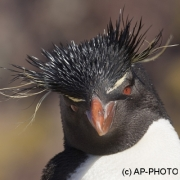 Rockhopper penguin; Eudyptes chrysocome;