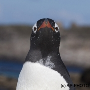 Gentoo penguin; Pygoscelis papua