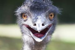 Emu;Dromaiidae, Dromaius