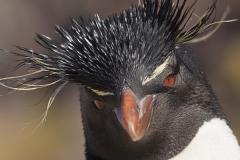 Rockhopper penguin; Eudyptes chrysocome;