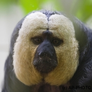 White-faced saki; Pithecia pithecia