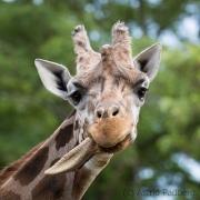 Baringo Giraffe