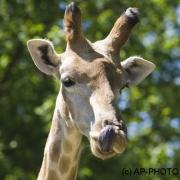 Giraffe, Giraffa camelopardalis