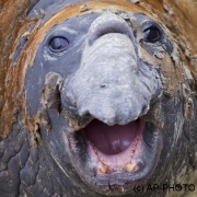 Southern elephant seal;Mirounga leonina