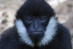 Schopfgibbon;White cheeked gibbon;Nomascus leucogenys