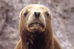 Arctic fur seal, Arctocephalus