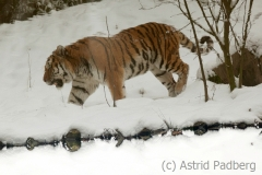 Tiger in Winter, Zoo Wuppertal