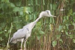 Graureiher; grey heron; Ardea cinerea