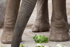 Afrikanischer Elefant; African bush elephant;  Loxodonta african