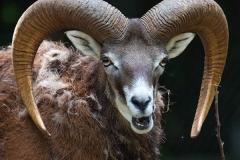 Mufflon; mouflon; Ovis orientalis orientalis
