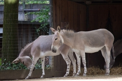 Somali-Esel; African wild ass; African wild donkey; Equus africa