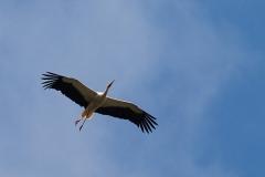 White stork, Basel Zoo