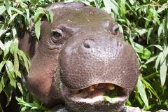 Pygmy hippopotamus; Basel Zoo