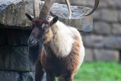 Bezoarziege; wild goat; Capra aegagrus