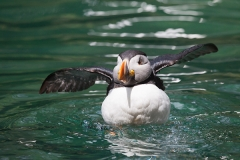 Papageitaucher; Atlantic puffin; Fratercula arctica
