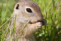 Europäisches Ziesel; European ground squirrel; Spermophilus cit