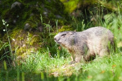 Murmeltiere; Marmota marmota, marmot