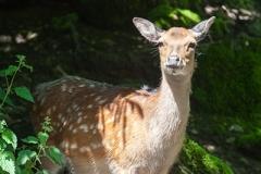 Sikahirsch; sika deer; Cervus nippon