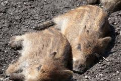 Wildschwein; wild boar; Sus scrofa