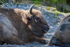 Wisent; European bison; Bison bonasus