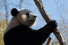 panda_7606_web