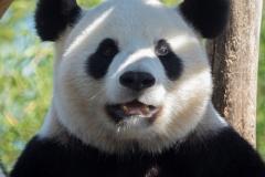panda_7663_web