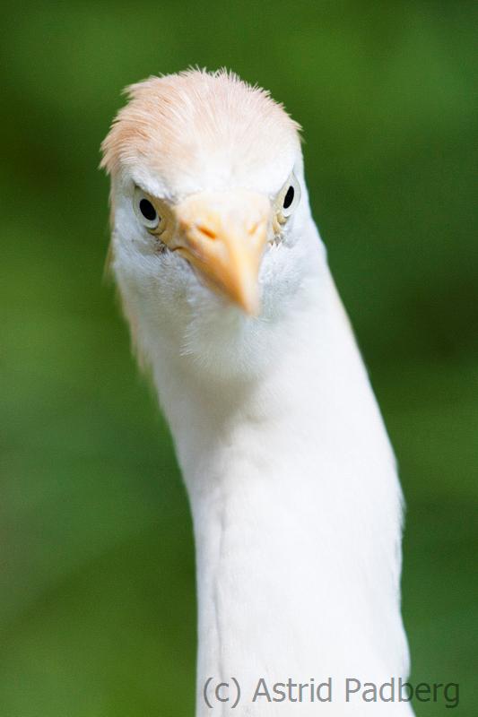 Kuhreiher;Bubulcus ibis