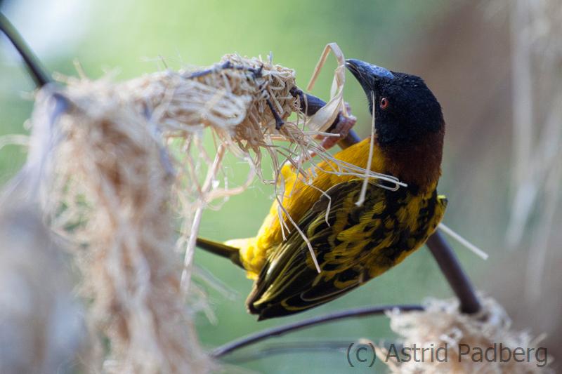 Textor-Webervogel