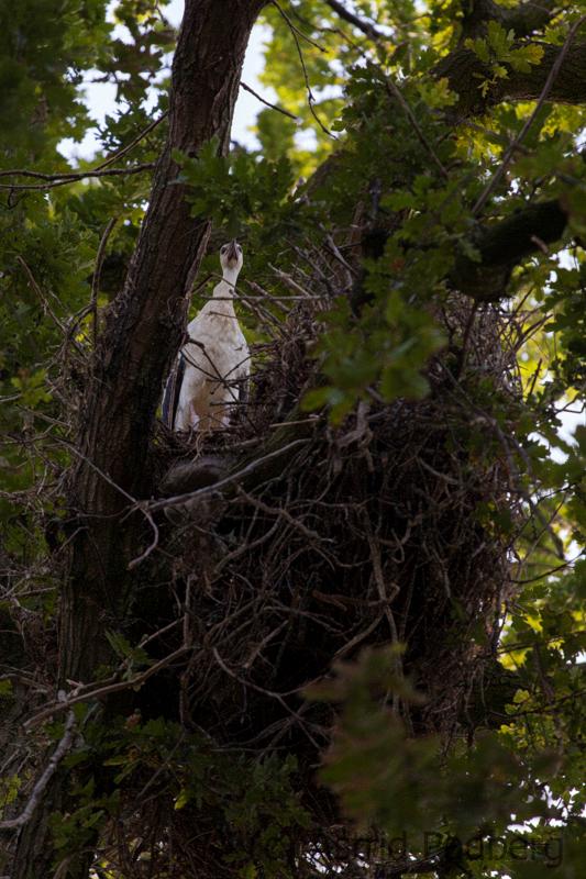 Weißstorch;Ciconia ciconia