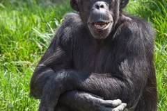 Gemeiner Schimpanse; common chimpanzee; Pan troglodytes