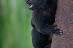 Springtamarin; Goeldi's marmoset; Goeldi's monkey; Callimico goe