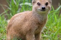 Fuchsmanguste; yellow mongoose; Cynictis penicillata