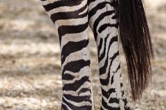 Grantzebra; Grant's zebra; Equus quagga boehmi
