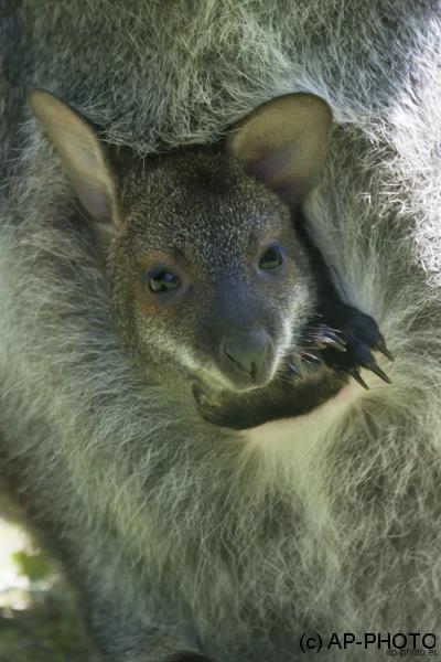 Bennetts Kangaroo