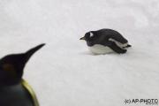 Gentoo on ice
