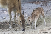 First steps, Père David's deer